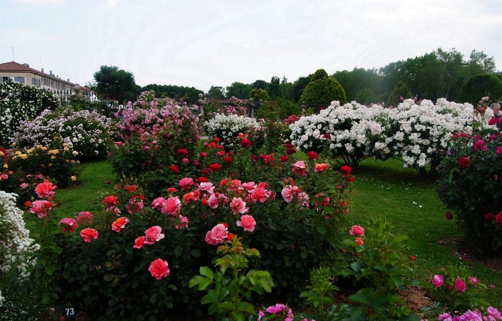 A Venaria, Festa delle Rose e XIV Edizione, e Fragranzia, alla sua prima edizione!