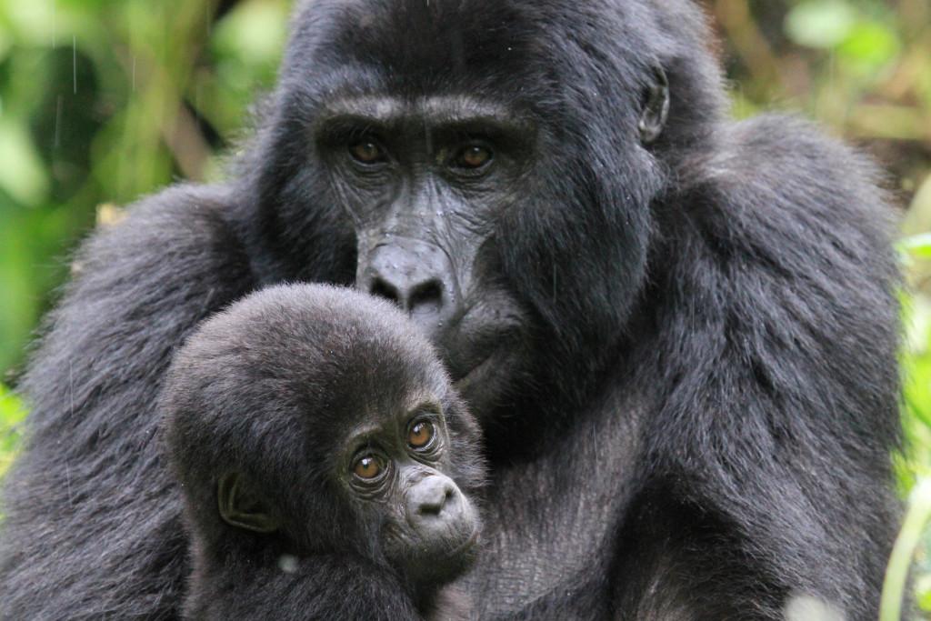 image009-gorilla di montagna