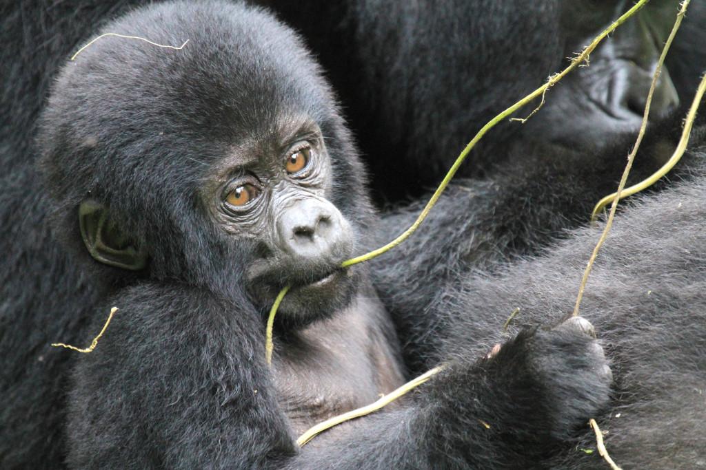 image010-cucciolo di gorilla di montagna
