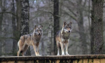 Bestie nazionali. Il lupo italiano, canis lupus italicus, non è homo homini lupus.